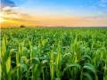 bioengineer corn